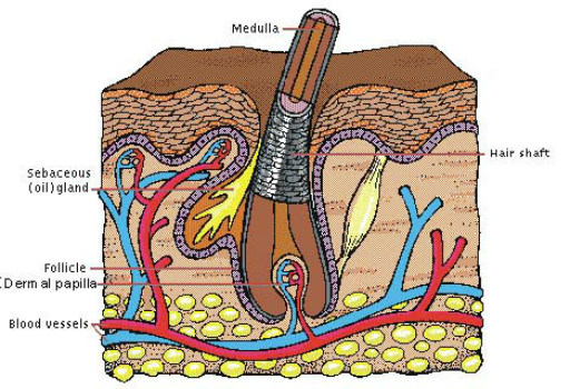 structure of hair